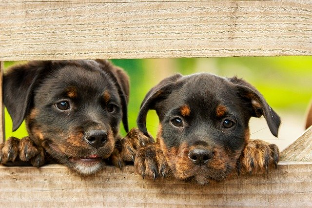 hunde kigger igennem brædder